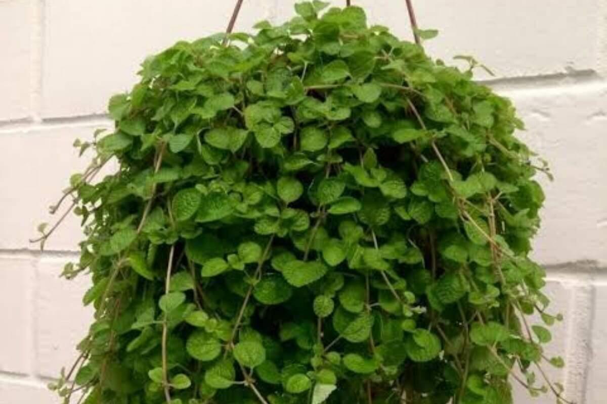 Além de ser usada em jardins, tal plantinha também se dá bem com cultivos em vasinhos suspensos