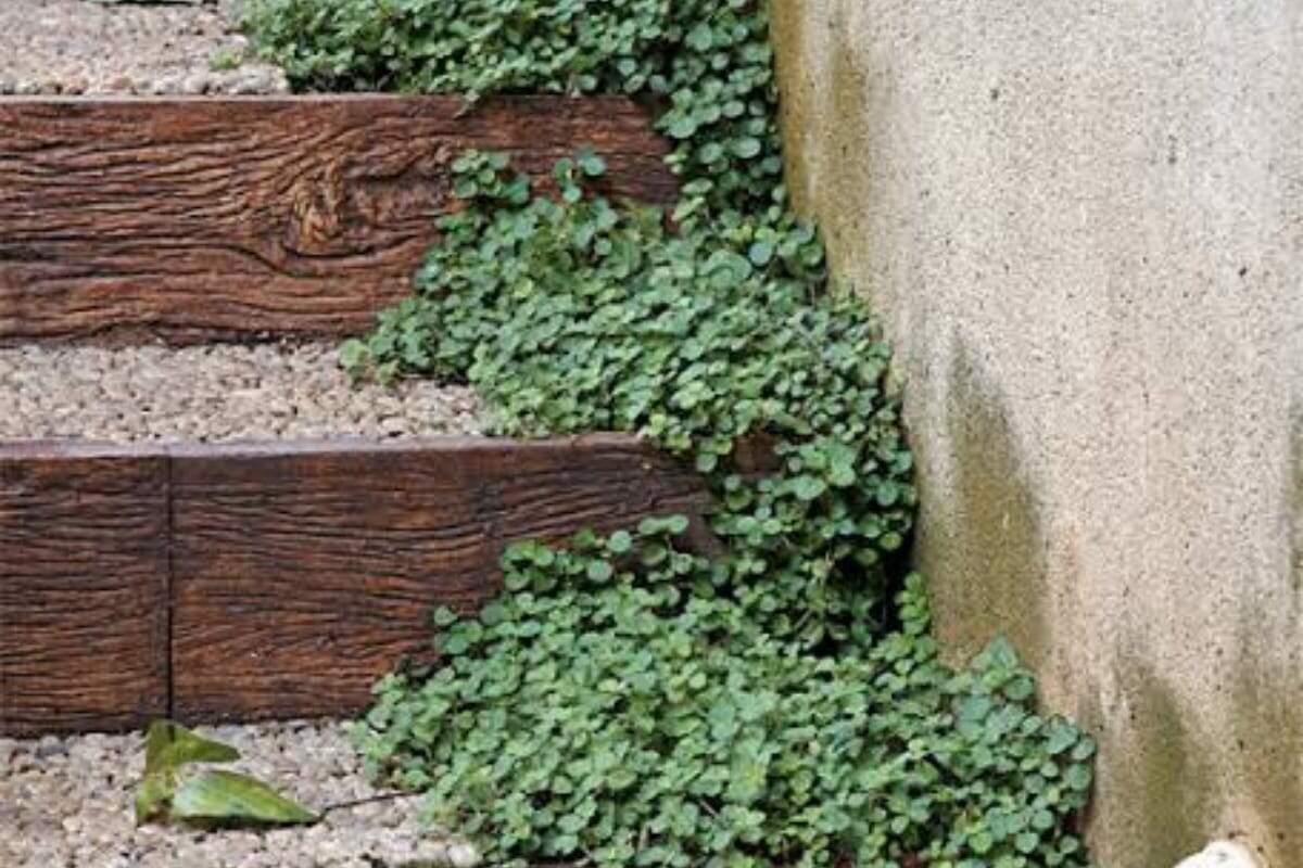 de planta pendente, ela serve também como forração nos canteiros que ficam à meia-sombra